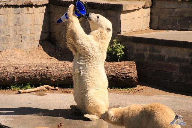 Eisbär Fiete im Zoo Rostock 043