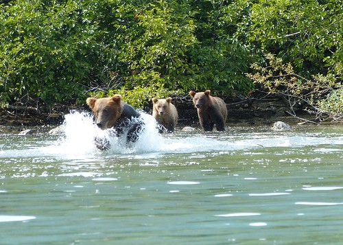 Brown Bear with cubs fishing
