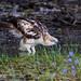 Crested Hawk Eagle by Chamith Siriwardena