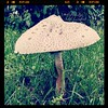 The Green-Spored Lepiota