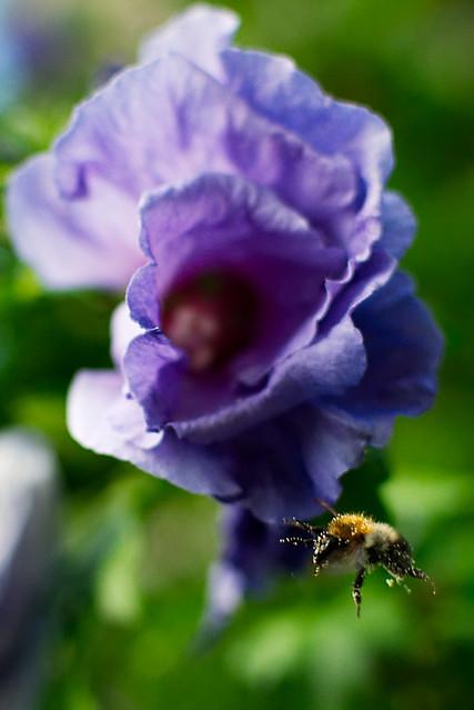 Bee & Flower, Ludwigschorgast, Jul 2016