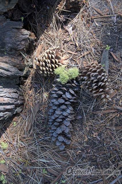 Jeffrey pine cones 0000 Secret Cove, Lake Tahoe, Nevada, USA