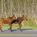Two Moose Calves Practicing Synchronized Running     by AlaskaFreezeFrame