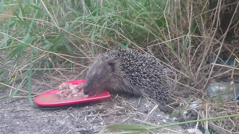 A delightful hedgehog encounter.