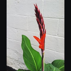 Canna flower. #canna #flower #flowers #picoftheday