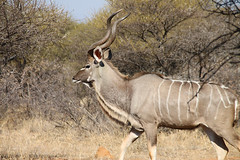 gemsbok(0.0), springbok(0.0), white-tailed deer(0.0), pronghorn(0.0), impala(0.0), gazelle(0.0), animal(1.0), antelope(1.0), mammal(1.0), horn(1.0), common eland(1.0), fauna(1.0), kudu(1.0), savanna(1.0), safari(1.0), wildlife(1.0),