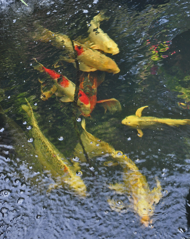 Koi Pond (2)
