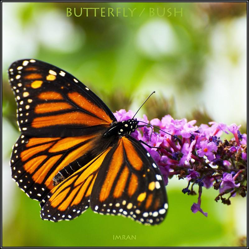 Butterfly / Butterfly Bush - IMRAN™