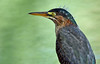 Green Heron, juvenile with punk feathers