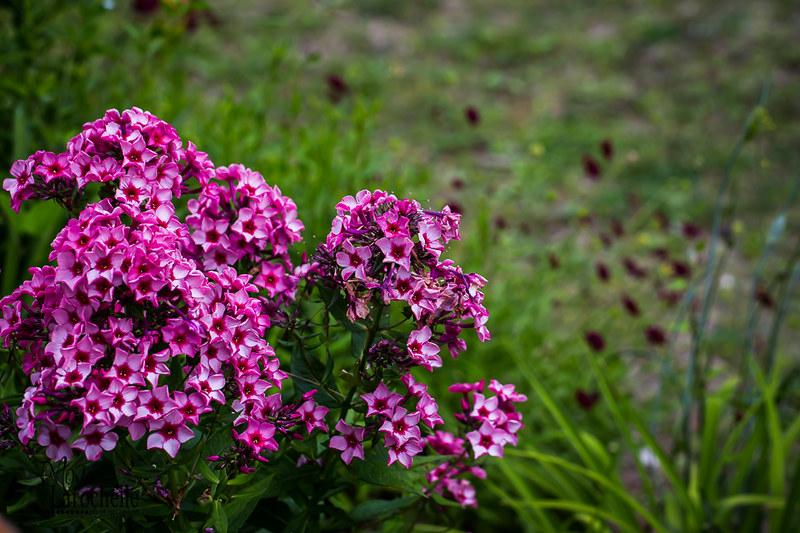 "Phlox Paniculata ""Red Caribbean "" 20062722595_75ec98f070_c"