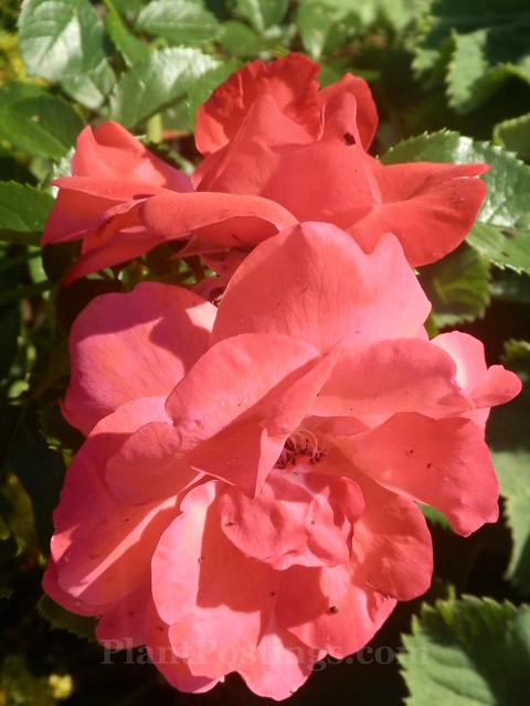 'lady elsie may' shrub rose
