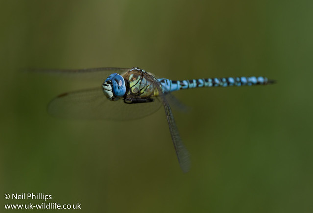 Southern migrant hawker-10