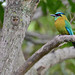 Momoto Común // Lesson's Motmot by http://jvverde.birdsby.me/v2/