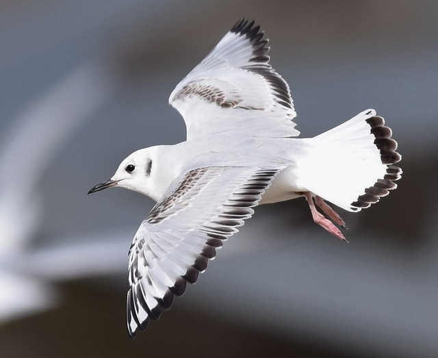 Bonaparte's Gull  (additional crop from original)