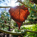 Sun Shines While Leaf Hangs On