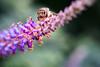 Web High Line closeup 8 honeybee