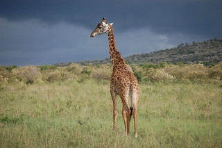Giraffe in Storm