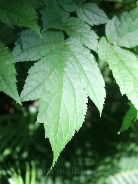 bugbane foliage