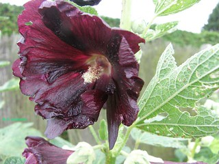 alcea-dark-red