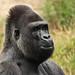 Gorilla JAMBO by K.Verhulst