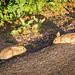 Rabbit Staring Contest
