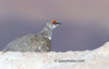 Rock Ptarmigan (Lagopus mutus)