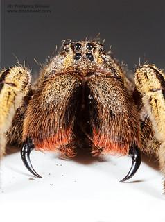 Wanderspinne (Phoneutria fera)