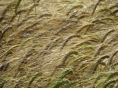 Ripening Barley near Worlaby