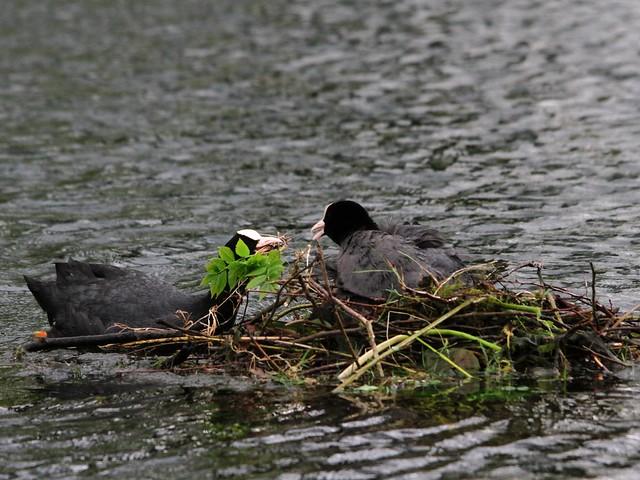 Coots nest tending in Harold Park, Bradford