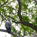 Small photo of African Harrier-hawk (Polyboroides typus)