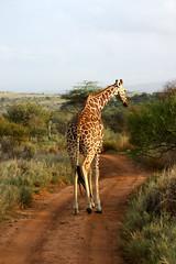animal, prairie, plain, nature, giraffe, fauna, giraffidae, savanna, grassland, safari, wildlife,
