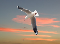 Sea Gull with Pink Clouds+