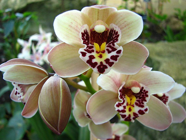 Cymbidium Orchid Colors Cymbidium Orchids Flickr