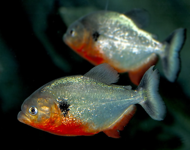 Fish with the red belly - Piranha?! Flickr - Photo Sharing!