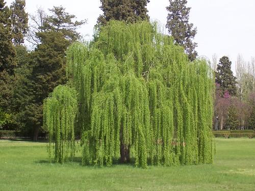 Plantas colombianas sauce lloron for Arbol comun