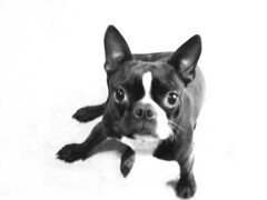 dog breed(1.0), animal(1.0), dog(1.0), pet(1.0), mammal(1.0), toy bulldog(1.0), french bulldog(1.0), boston terrier(1.0), bulldog(1.0), black-and-white(1.0),