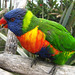 Rainbow Lorikeet - Photo (c) Mike, some rights reserved (CC BY-NC-ND)