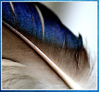Wing feather of a Mallard duck