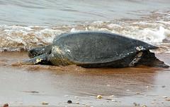 common snapping turtle(0.0), leatherback turtle(0.0), emydidae(0.0), sea turtle(0.0), animal(1.0), turtle(1.0), sea(1.0), reptile(1.0), loggerhead(1.0), marine biology(1.0), fauna(1.0), wildlife(1.0),