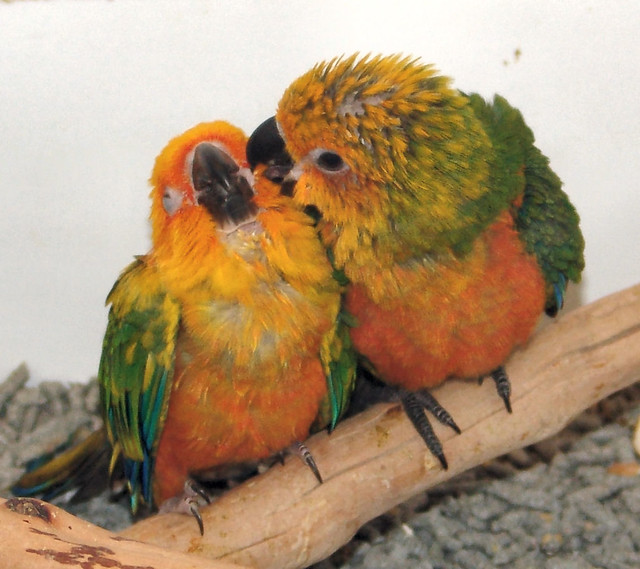 Friends Sun Conure and Jenday babies