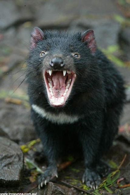 Flickr photo sharing - Tasmanian devil pics ...
