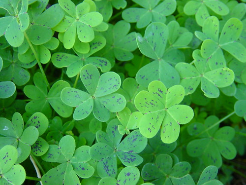 Oxalis leaves with purple spots