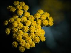 yarrow(0.0), produce(0.0), chrysanths(0.0), annual plant(1.0), pollen(1.0), flower(1.0), yellow(1.0), macro photography(1.0), flora(1.0),