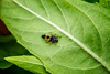 Web High Line closeup 2 ladybug larva