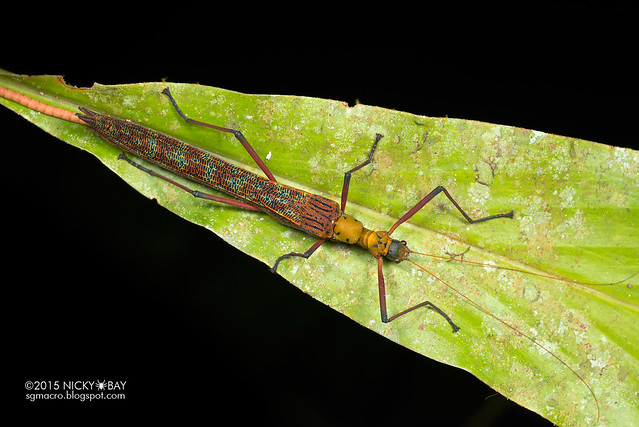 Knob necked stick insect (Calvisia sp.?) - DSC_4513