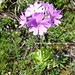 Primula farinosa (Kerrie Porteous)