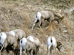 sheeps(0.0), sheep(0.0), barbary sheep(0.0), goats(0.0), animal(1.0), argali(1.0), mammal(1.0), herd(1.0), grazing(1.0), fauna(1.0), mountain goat(1.0), wildlife(1.0),