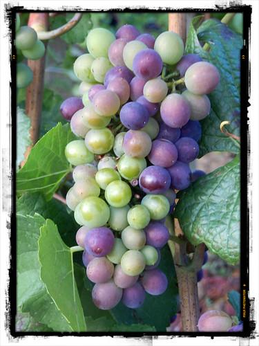 Véraison (changement de couleur des raisins) d'un pinot noir en Côte de Beaune lors du millésime 2015. Vin de Bourgogne.