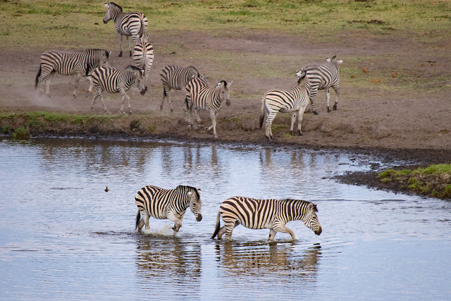 Crossing zebras