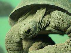 Volcán Darwin Tortoise